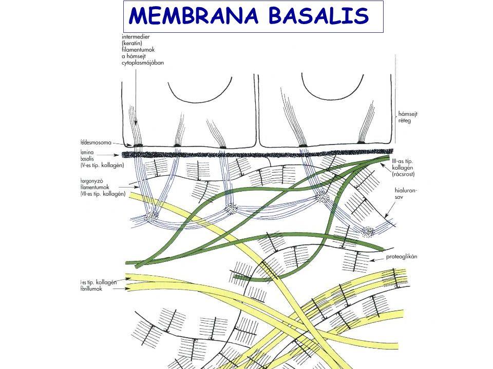 MEMBRANA BASALIS