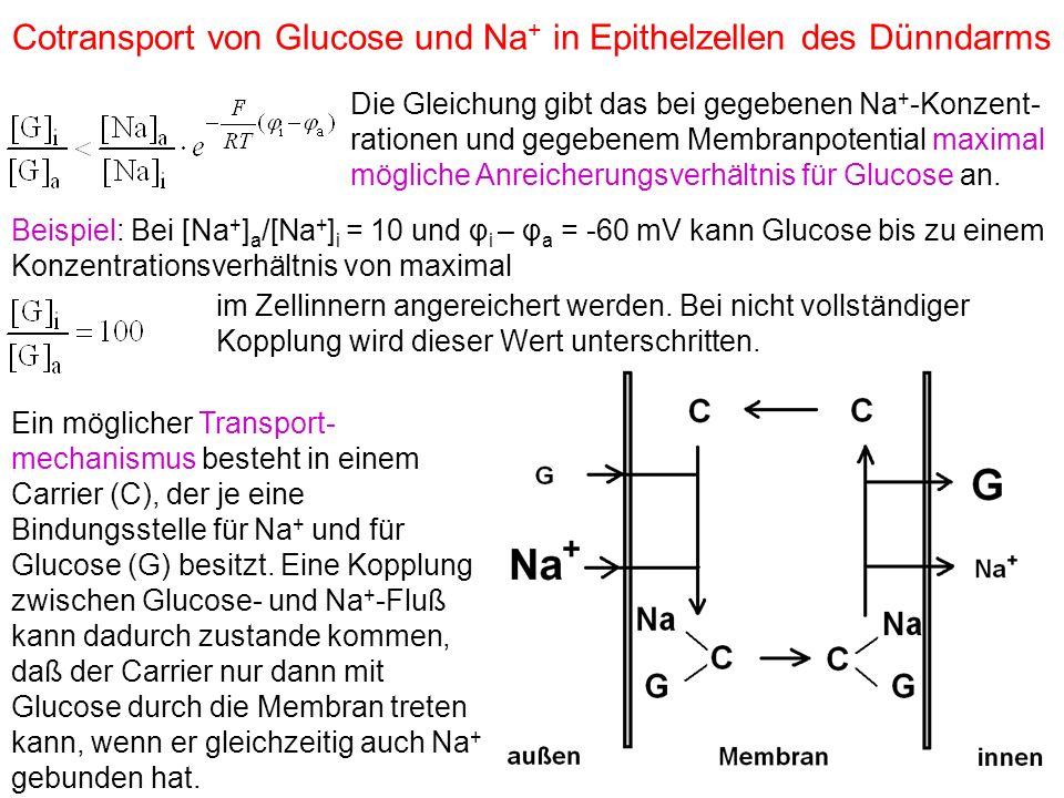 Cotransport von Glucose und Na+ in Epithelzellen des Dünndarms