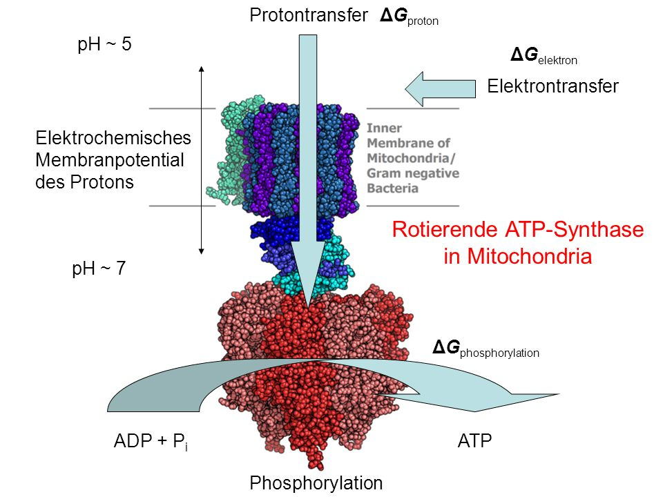 Rotierende ATP-Synthase in Mitochondria
