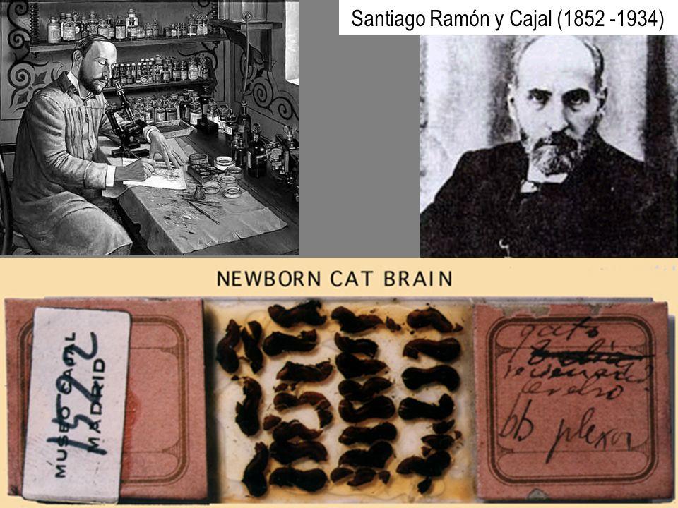 Santiago Ramón y Cajal (1852 -1934)