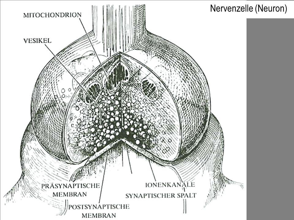 Nervenzelle (Neuron)