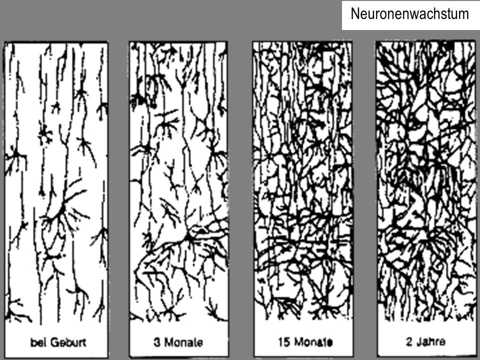 Neuronenwachstum