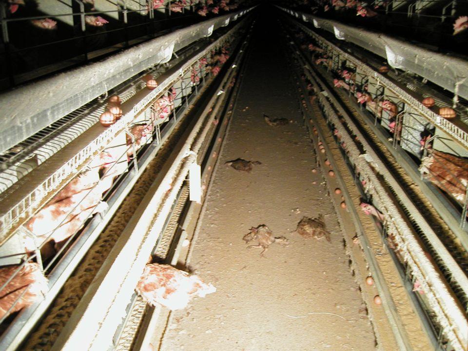 Wir kümmern uns mit Recht und Hingabe um die artgerechte Haltung von Hühnern.