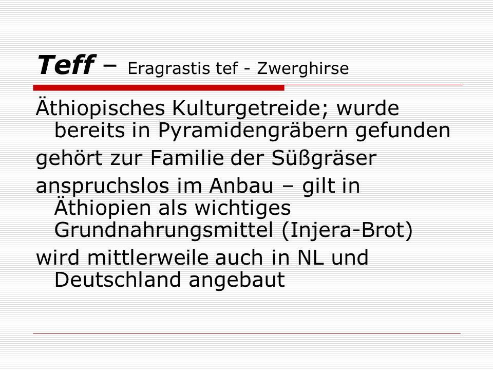 Teff – Eragrastis tef - Zwerghirse