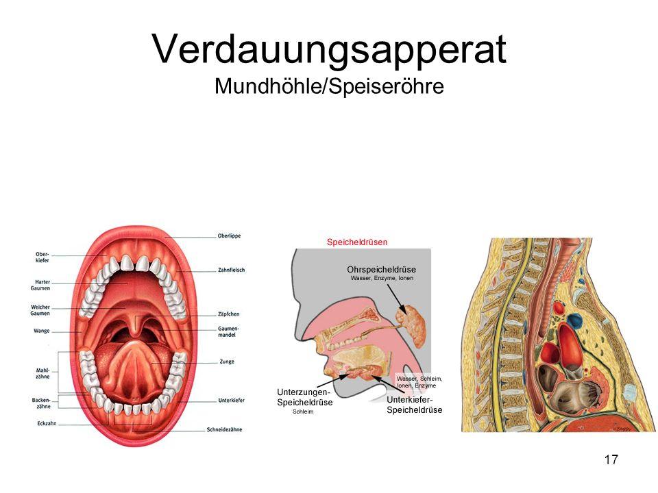 Großzügig Anatomie Der Verdauung Zeitgenössisch - Anatomie Ideen ...