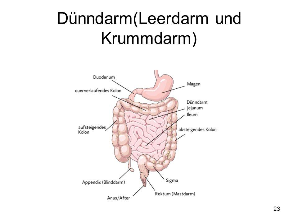 Dünndarm(Leerdarm und Krummdarm)