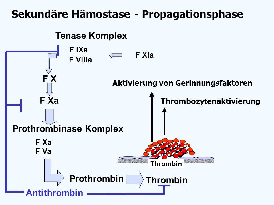 Sekundäre Hämostase - Propagationsphase