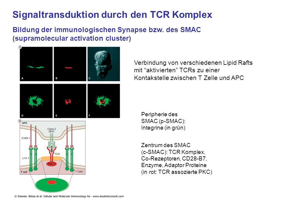 Signaltransduktion durch den TCR Komplex