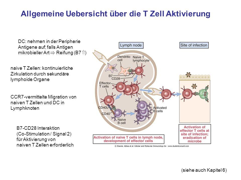 Allgemeine Uebersicht über die T Zell Aktivierung