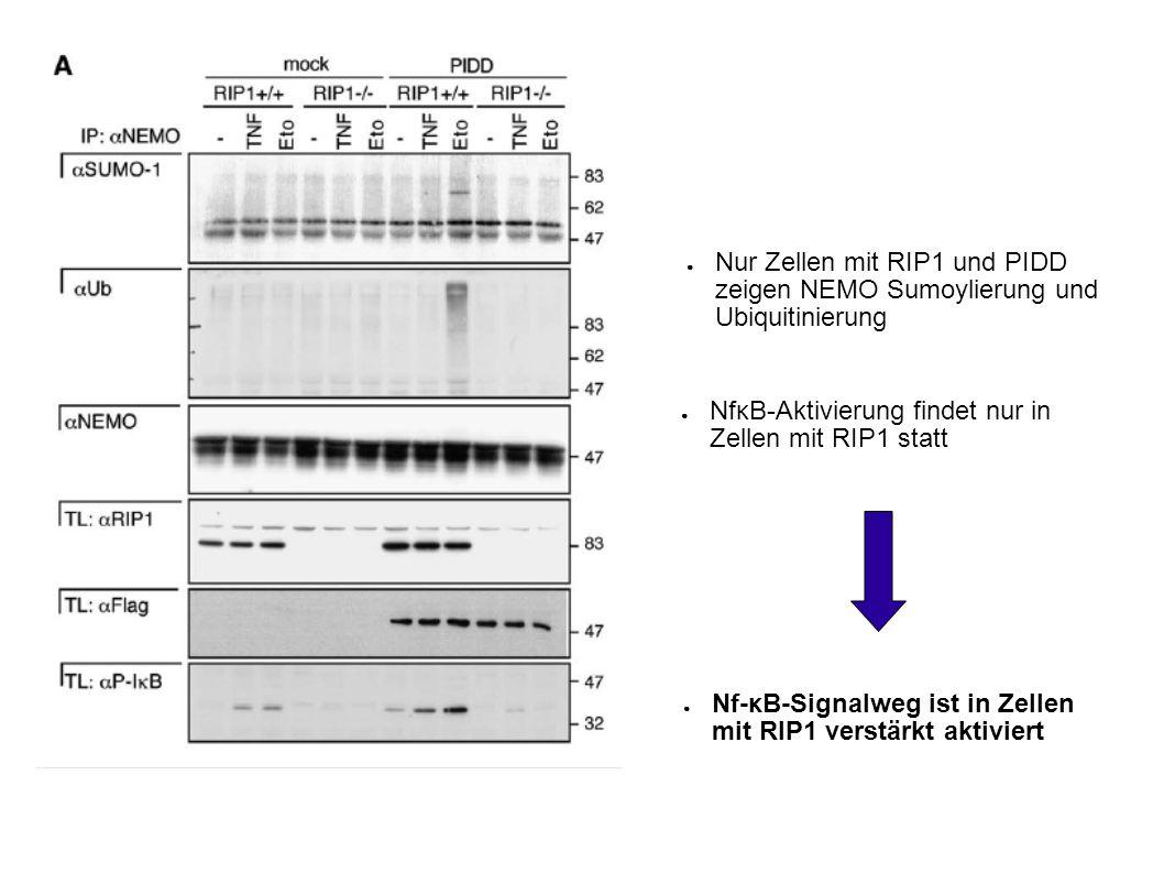 Nur Zellen mit RIP1 und PIDD zeigen NEMO Sumoylierung und Ubiquitinierung