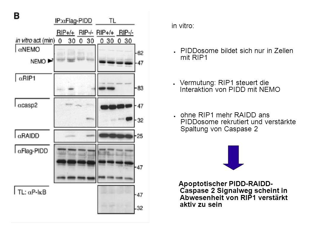 in vitro: PIDDosome bildet sich nur in Zellen mit RIP1. Vermutung: RIP1 steuert die Interaktion von PIDD mit NEMO.