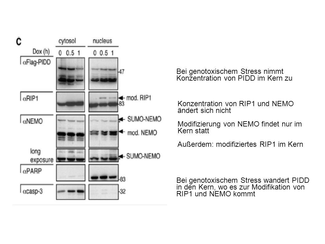 Bei genotoxischem Stress nimmt Konzentration von PIDD im Kern zu