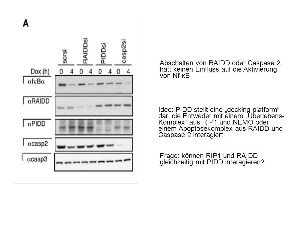 Abschalten von RAIDD oder Caspase 2 hatt keinen Einfluss auf die Aktivierung von Nf-κB