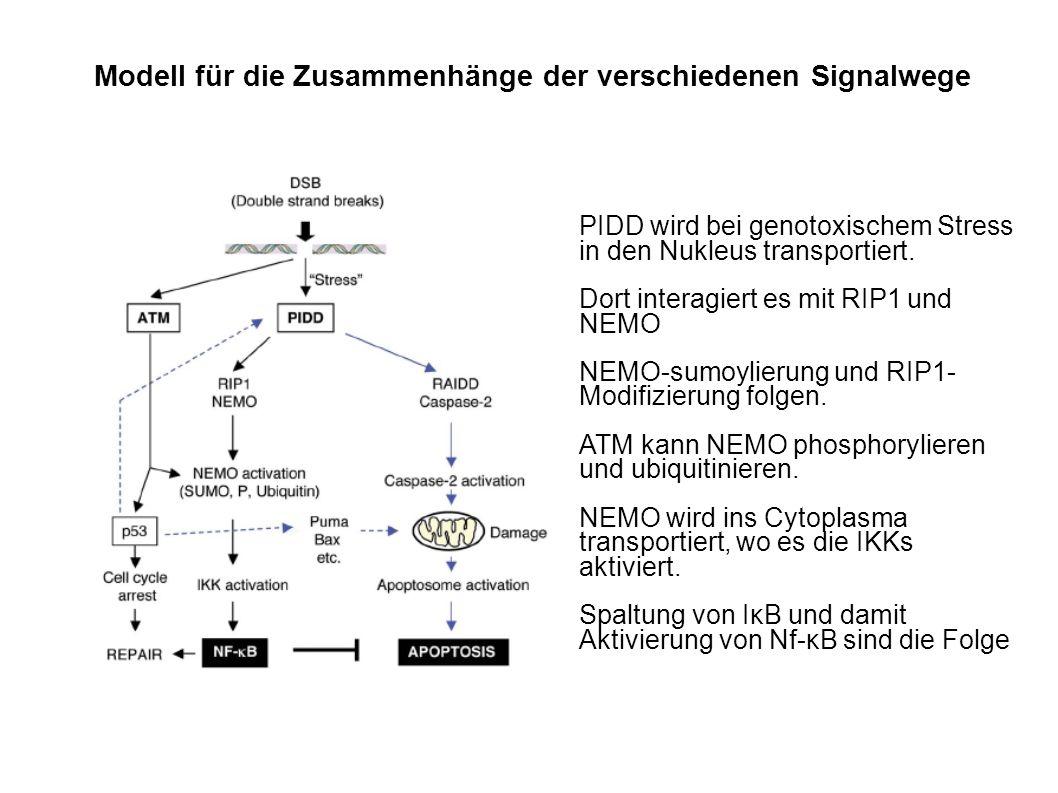 Modell für die Zusammenhänge der verschiedenen Signalwege