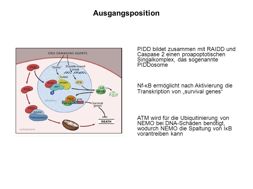 Ausgangsposition PIDD bildet zusammen mit RAIDD und Caspase 2 einen proapoptotischen Singalkomplex, das sogenannte PIDDosome.