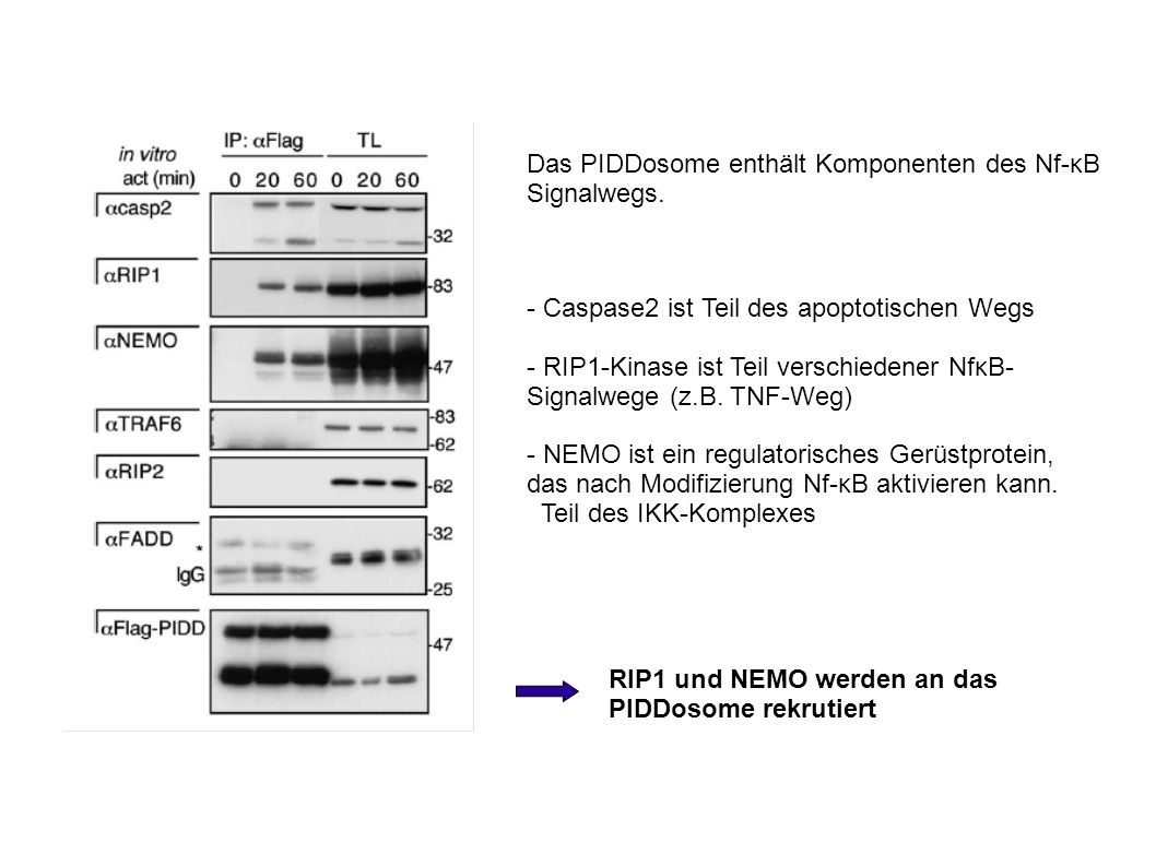 Das PIDDosome enthält Komponenten des Nf-κB Signalwegs.