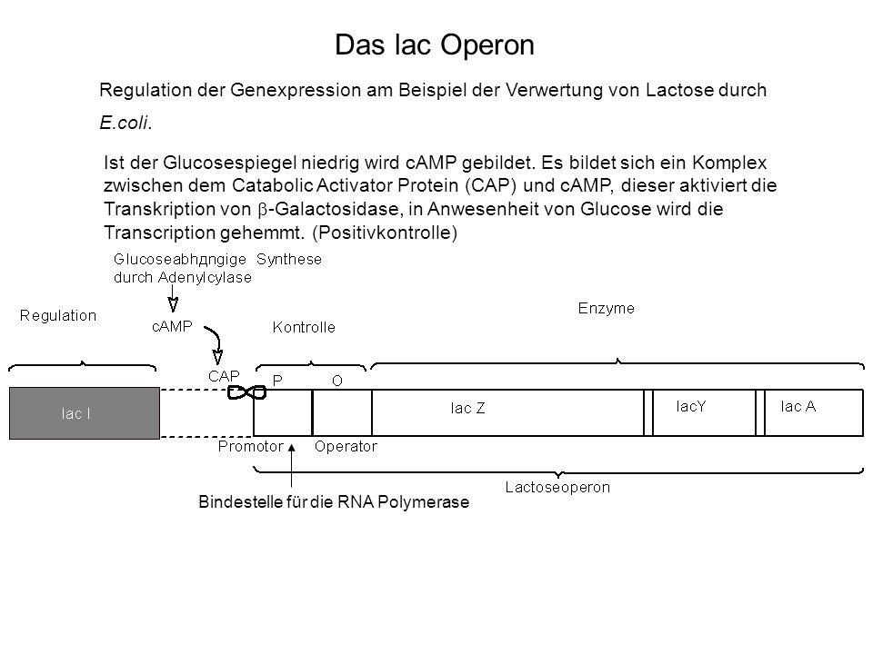Das lac Operon Regulation der Genexpression am Beispiel der Verwertung von Lactose durch. E.coli.