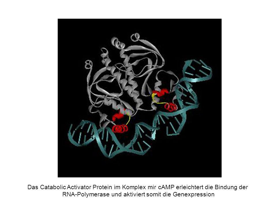 RNA-Polymerase und aktiviert somit die Genexpression