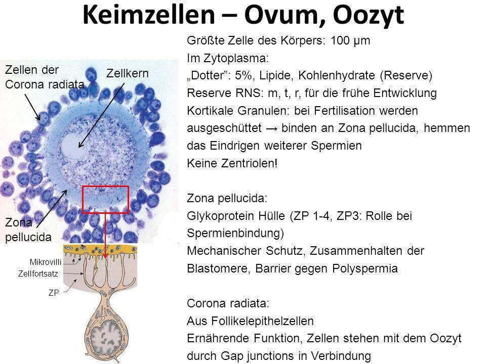 Keimzellen – Ovum, Oozyt