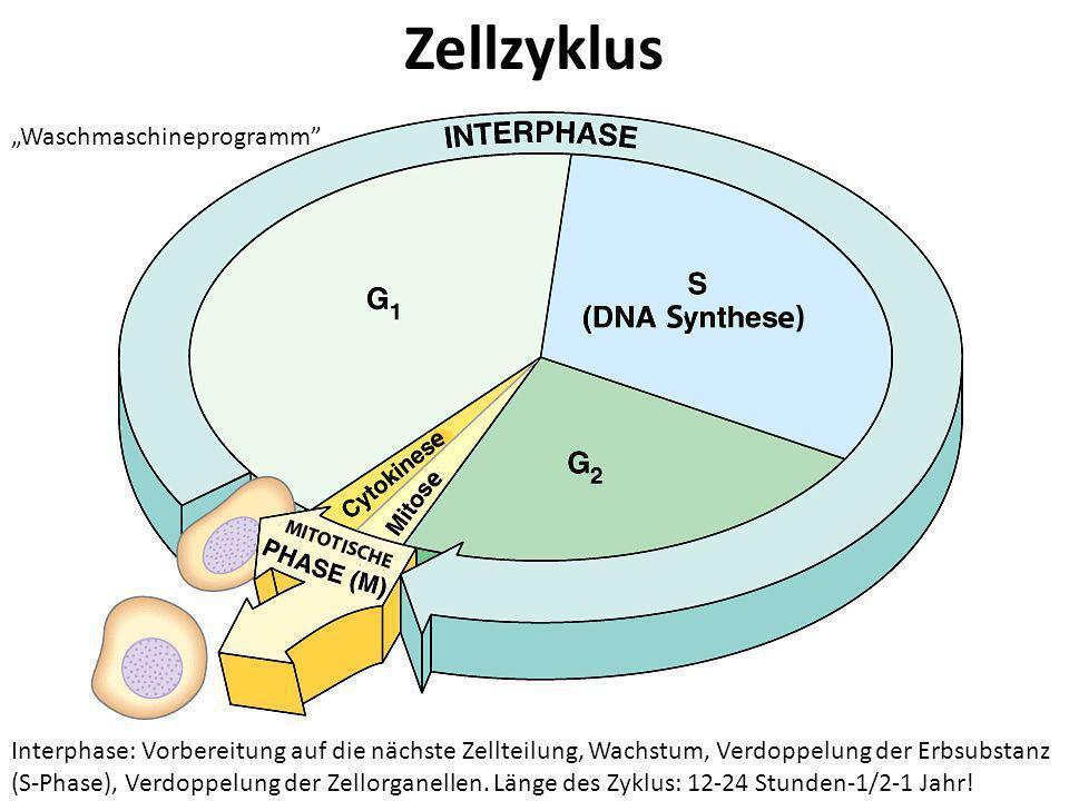 """Zellzyklus """"Waschmaschineprogramm"""