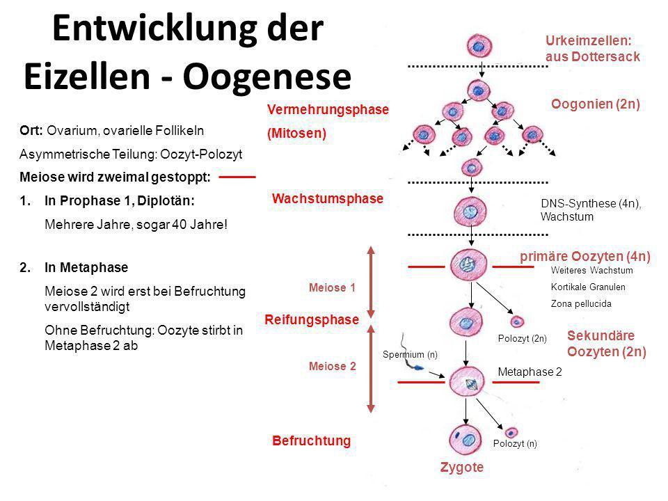 Entwicklung der Eizellen - Oogenese