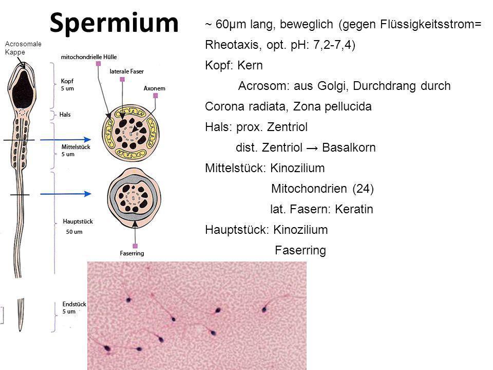 Spermium ~ 60μm lang, beweglich (gegen Flüssigkeitsstrom= Rheotaxis, opt. pH: 7,2-7,4) Kopf: Kern.