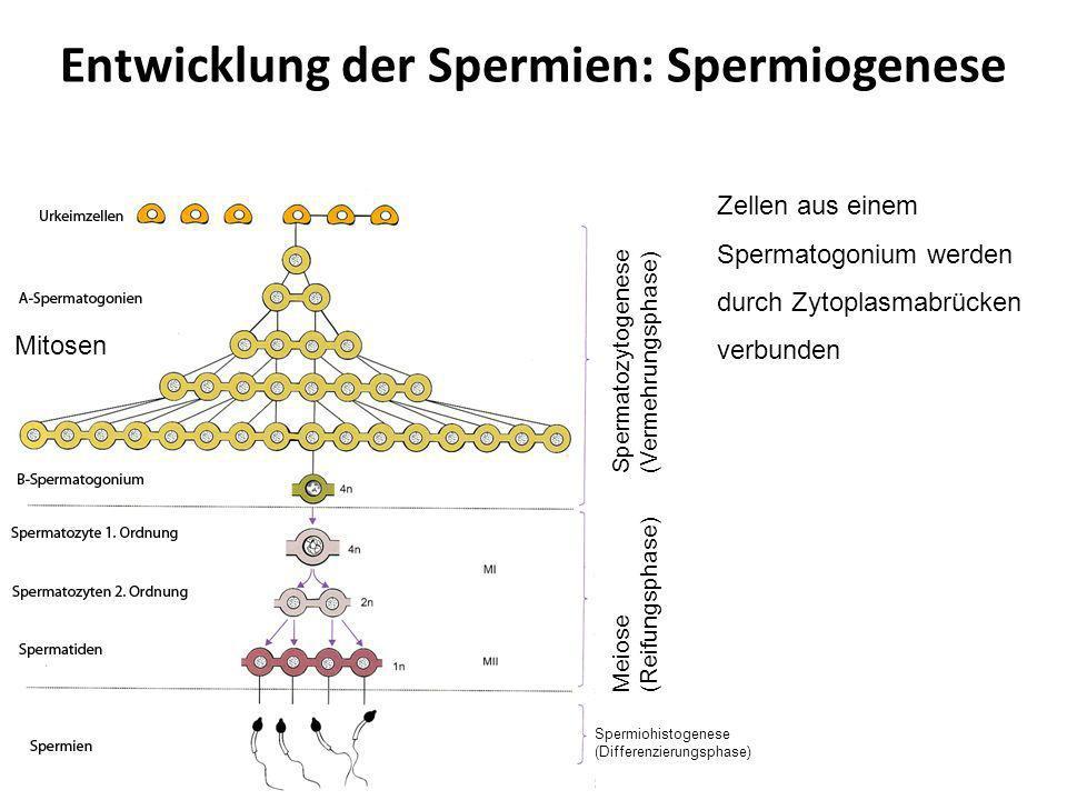 Entwicklung der Spermien: Spermiogenese