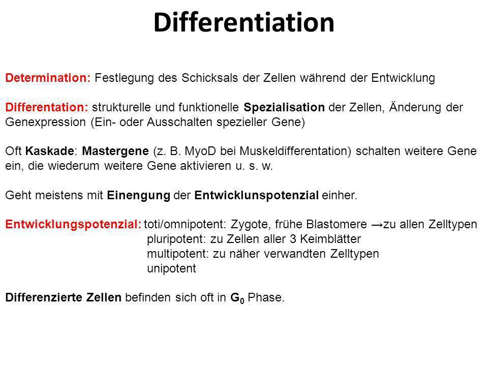 Differentiation Determination: Festlegung des Schicksals der Zellen während der Entwicklung.