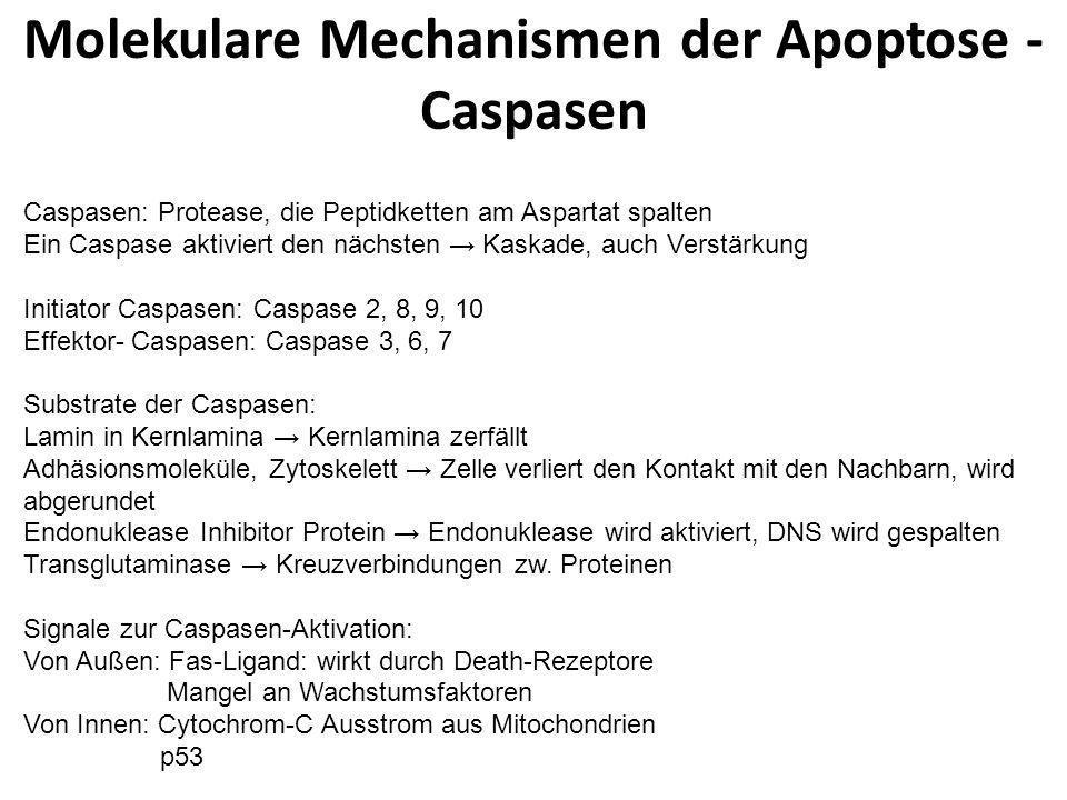 Molekulare Mechanismen der Apoptose - Caspasen