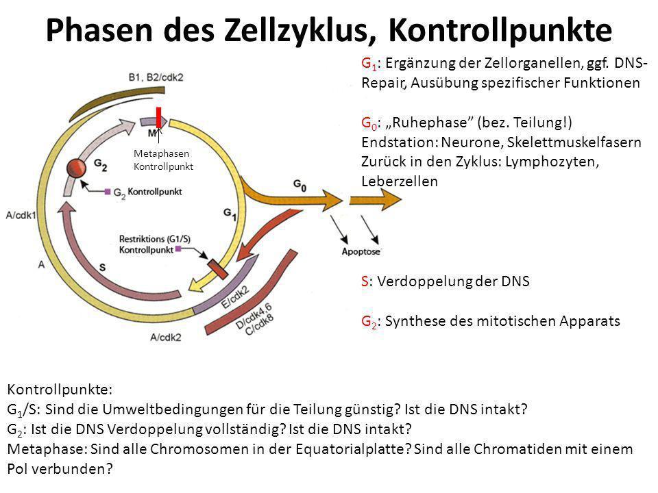 Phasen des Zellzyklus, Kontrollpunkte