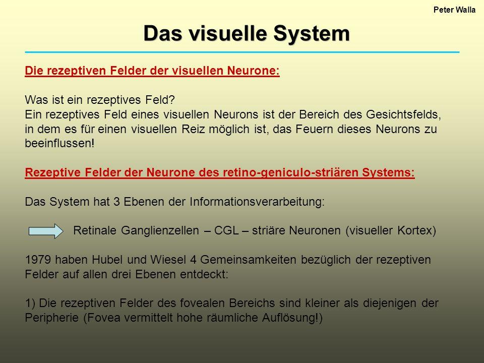 Das visuelle System Die rezeptiven Felder der visuellen Neurone: