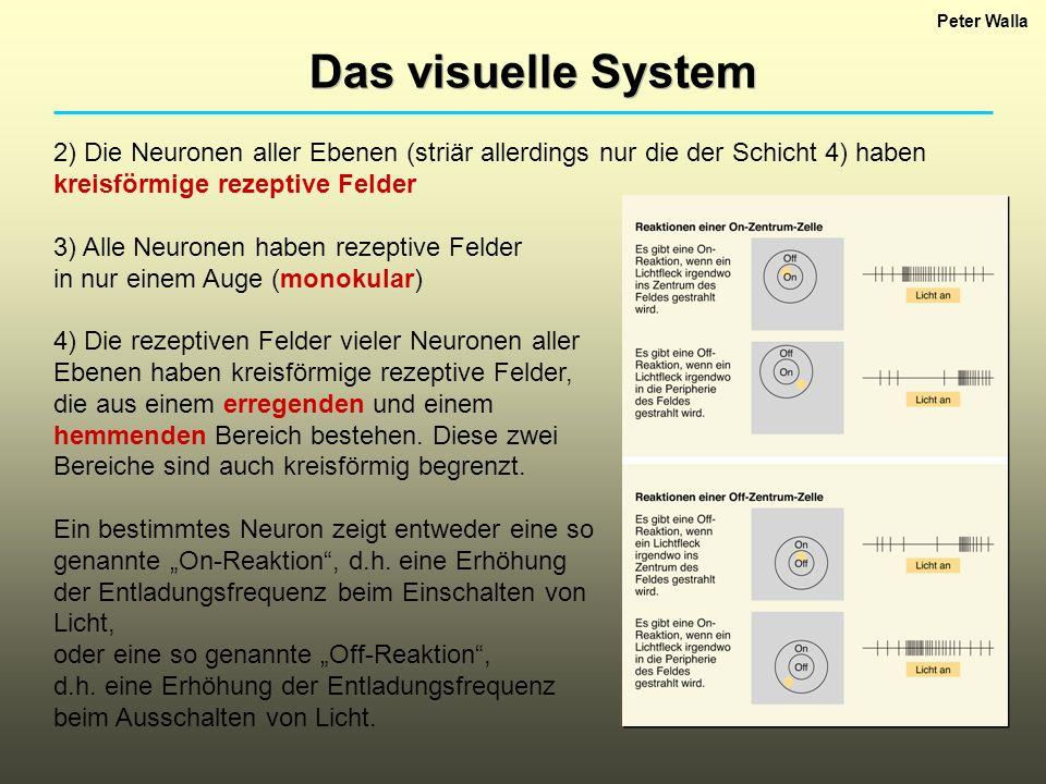 Peter Walla Das visuelle System. 2) Die Neuronen aller Ebenen (striär allerdings nur die der Schicht 4) haben kreisförmige rezeptive Felder.