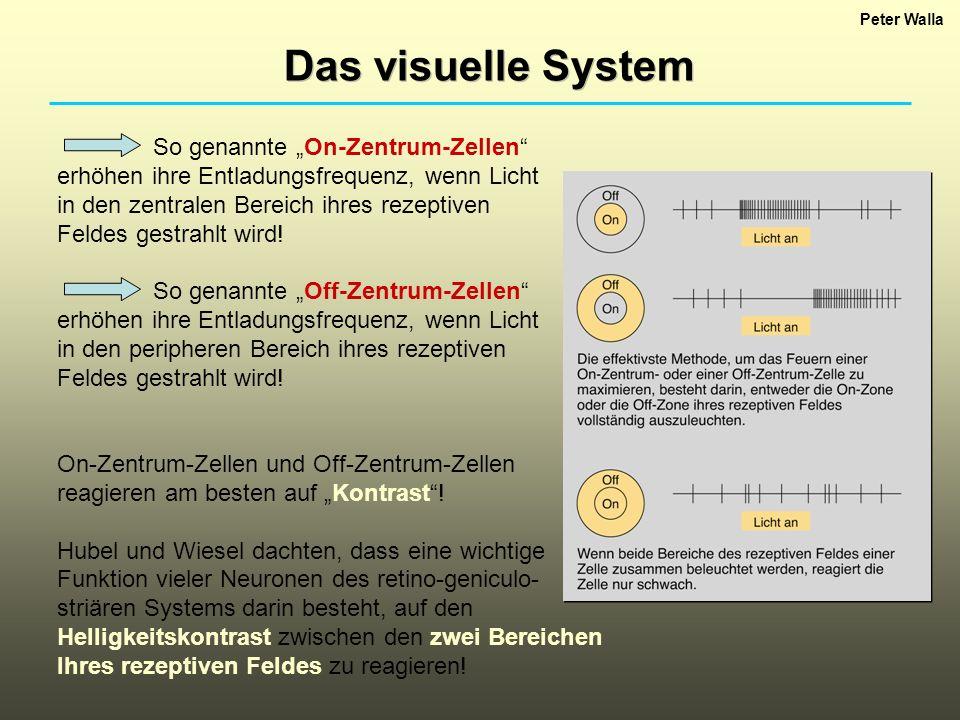 """Das visuelle System So genannte """"On-Zentrum-Zellen"""
