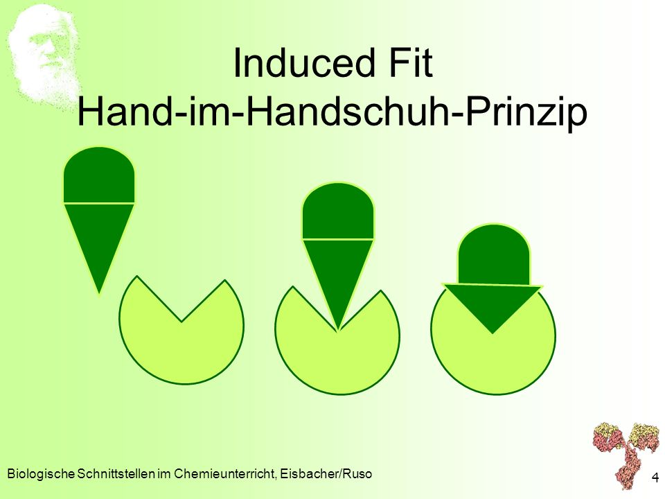 Induced Fit Hand-im-Handschuh-Prinzip