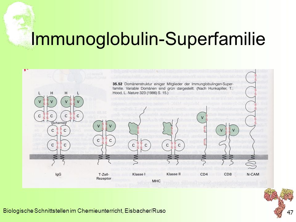 Immunoglobulin-Superfamilie