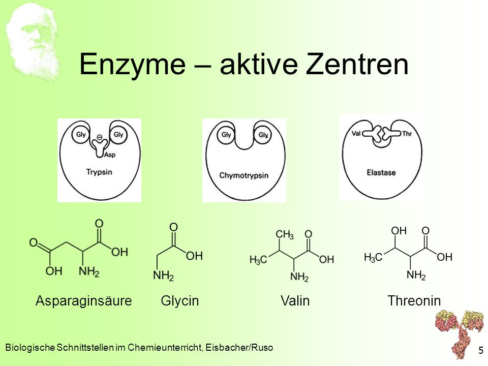 Enzyme – aktive Zentren