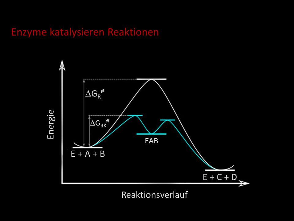 Enzyme katalysieren Reaktionen