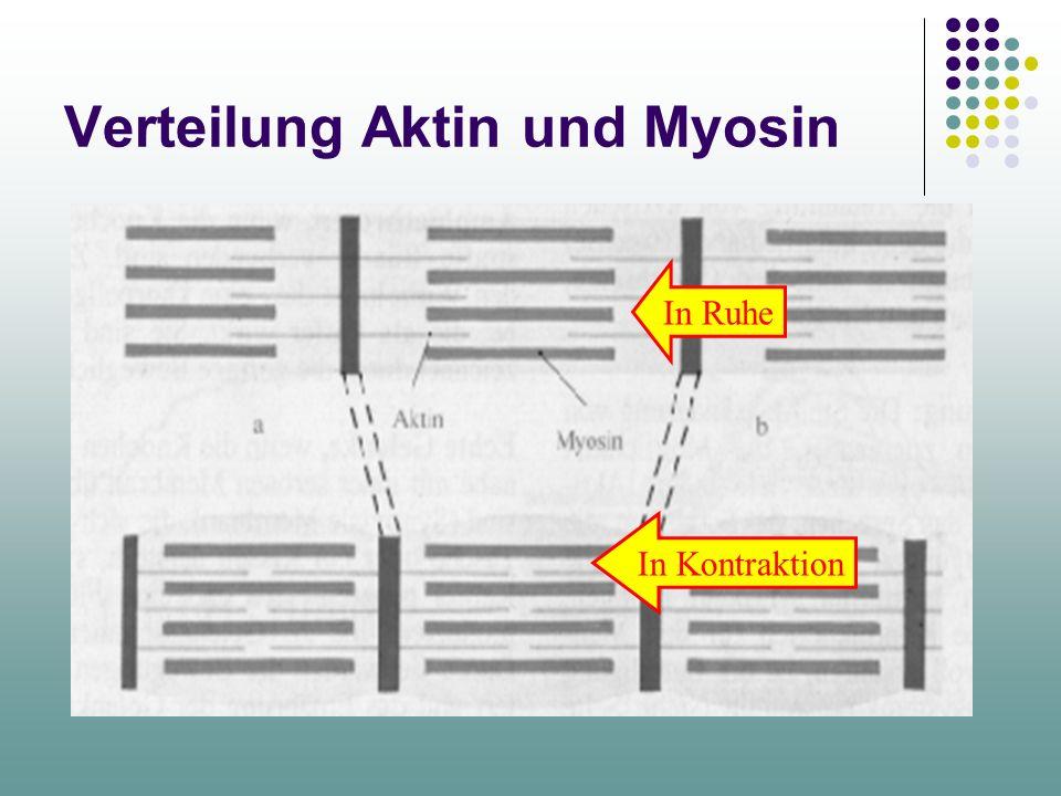 Verteilung Aktin und Myosin