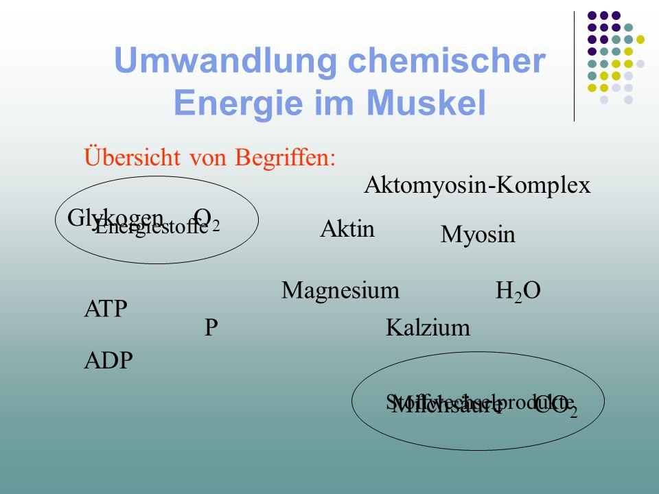 Umwandlung chemischer Energie im Muskel