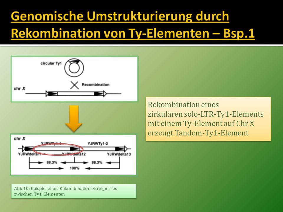 Genomische Umstrukturierung durch Rekombination von Ty-Elementen – Bsp