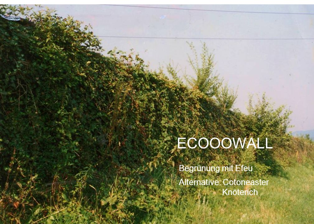 ECOOOWALL Begrünung mit Efeu Alternative: Cotoneaster Knöterich