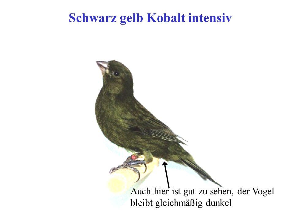 Schwarz gelb Kobalt intensiv
