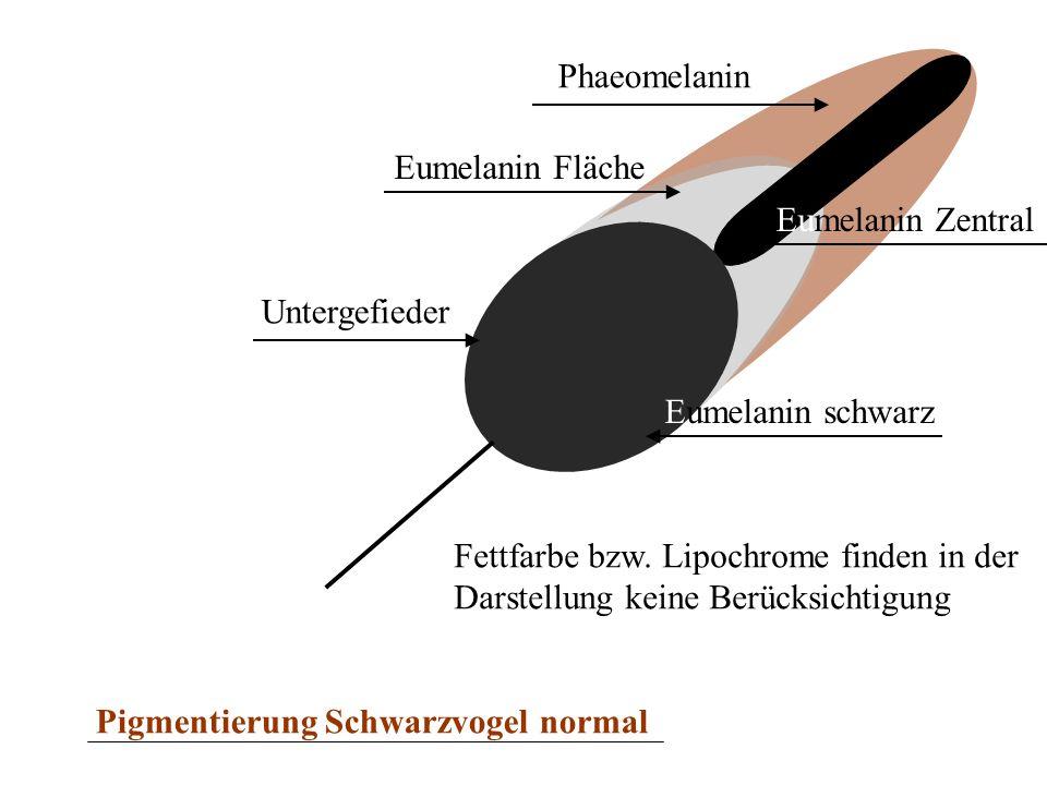Phaeomelanin Eumelanin Fläche. Eumelanin Zentral. Untergefieder. Eumelanin schwarz. Fettfarbe bzw. Lipochrome finden in der.