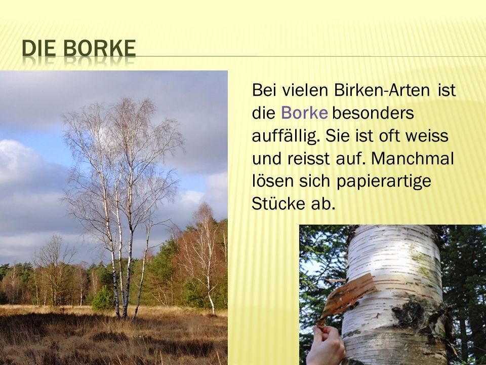 Die Borke Bei vielen Birken-Arten ist die Borke besonders auffällig.