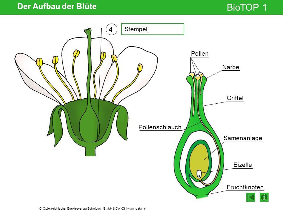 Der Aufbau der Blüte 4 Stempel Pollen Narbe Griffel Pollenschlauch
