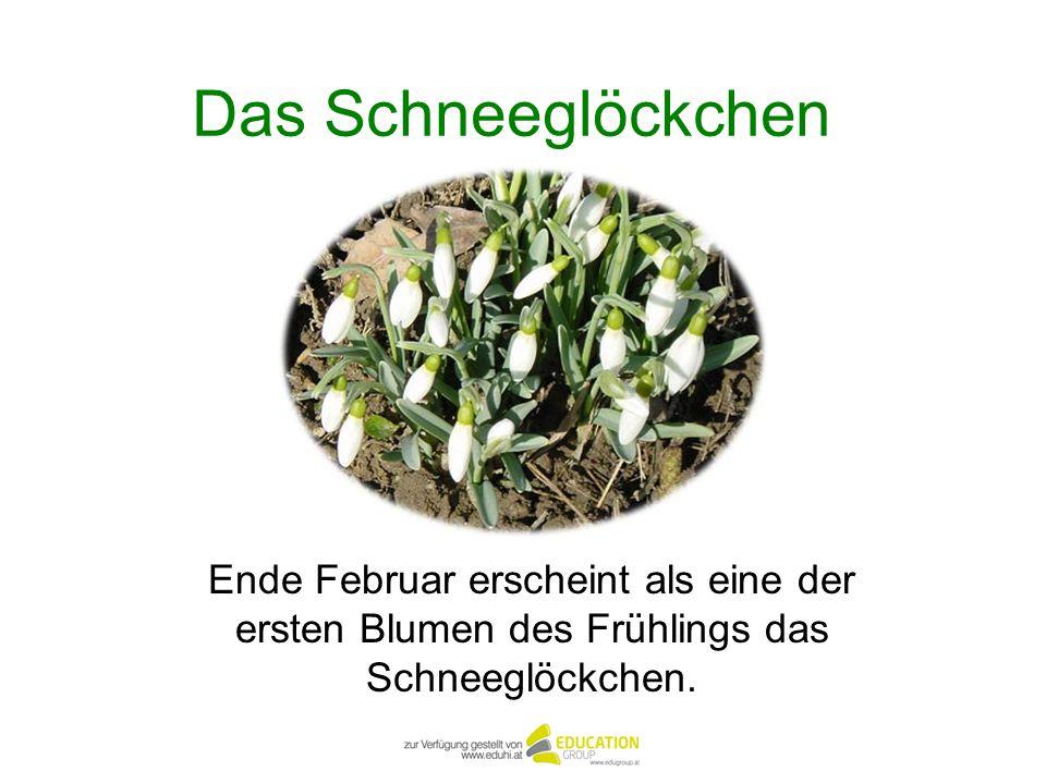 Das SchneeglöckchenEnde Februar erscheint als eine der ersten Blumen des Frühlings das Schneeglöckchen.