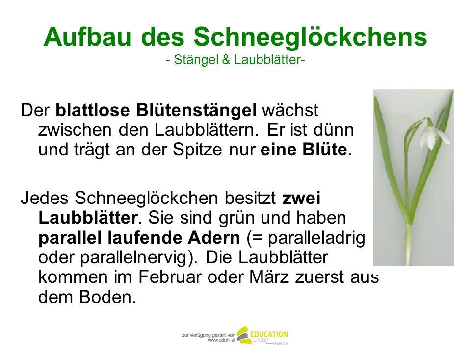Aufbau des Schneeglöckchens - Stängel & Laubblätter-
