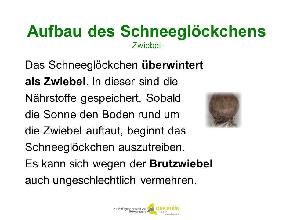 Aufbau des Schneeglöckchens -Zwiebel-