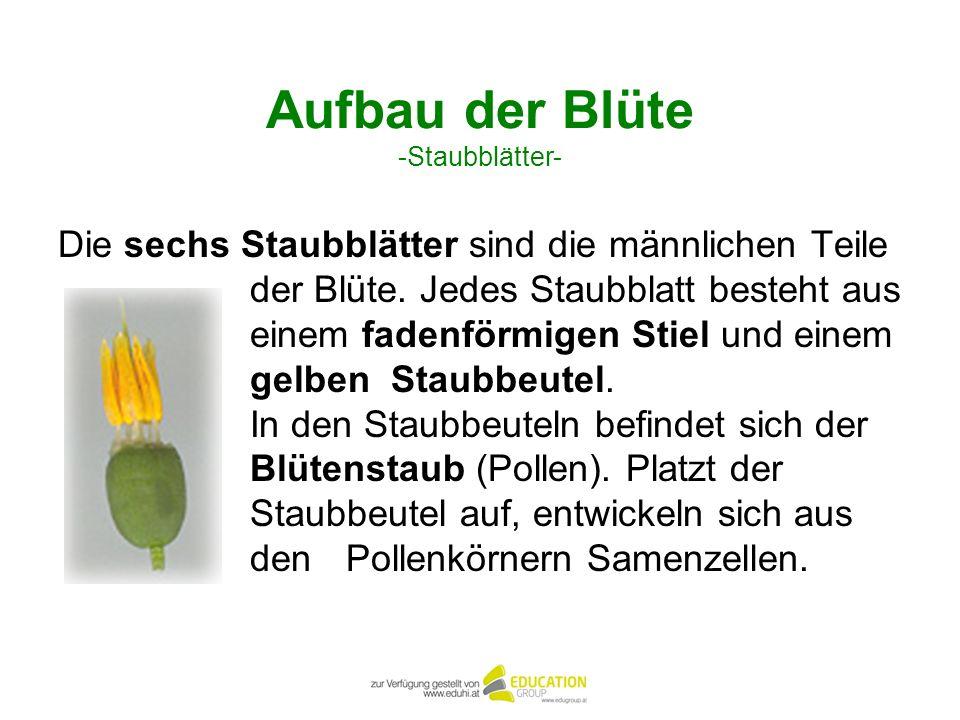 Aufbau der Blüte -Staubblätter-