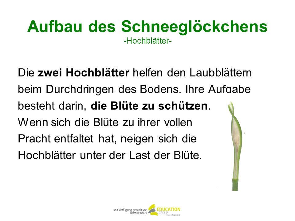 Aufbau des Schneeglöckchens -Hochblätter-